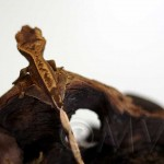 Partial Pinstripe Crested Gecko
