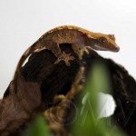 Tricolor Crested Gecko Baby