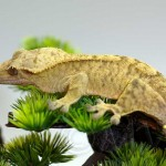 Yellow Tiger Crested Gecko Male