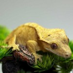 Yellow Tiger Crested Gecko Female
