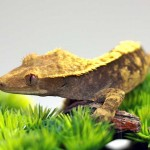 Lavender Harlequin Crested Gecko