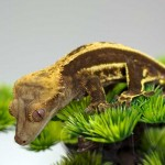 Full Pinstripe, Lateral Pinning Crested Gecko