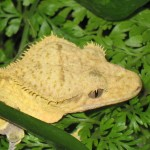 Wide Head, Good Crests on a Crested Gecko