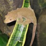 Buckskin Crested Gecko