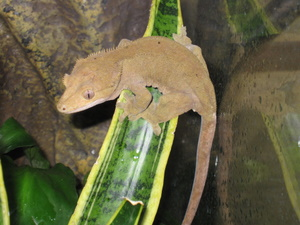 Does any 1 know where to buy a good heathy cute crested gecko in ct?