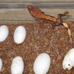 Crested Gecko Eggs & Hatchling