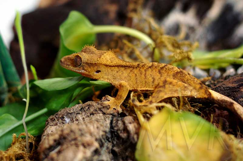 Yellow flame crested gecko