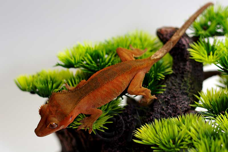 For Sale Sub Adult Male Crested Gecko Fry