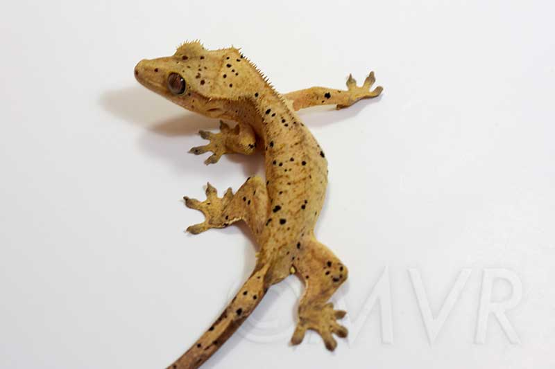 For Sale: Sub-adult Male Crested Gecko – Sunspot