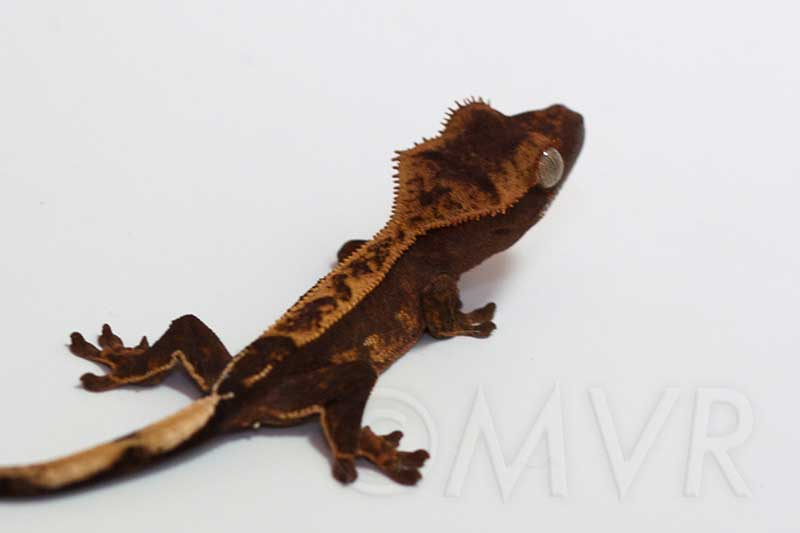 For Sale Unsexed Crested Gecko Jolly Pat