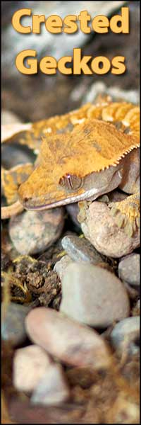 Available Crested Geckos from moonvalleyreptiles.com